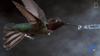 WebBuzz du 19/07/2017: Oiseaux-mouches filmés au ralenti-Hummingbirds Fly Shake, Drink in Amazing Slow Motion