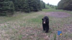 WebBuzz du 17/06/2014 : Un ours taquin lors d une balade-A playful bear during a ride