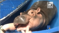 WebBuzz du 16/05/2017: Fiona un bébé hippo à son examen dentaire-Baby Hippo Fiona Gets a Dental Check
