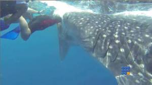 WebBuzz du 22/07/2014: Un requin baleine attaque une nageuse-A whale shark attacks a swimmer