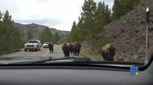 WebBuzz du 03/06/2015: Des bisons attaquent une voiture à Yellowstone-Bisons attacks a car in Yellowstone