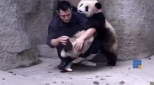WebBuzz du 21/10/2014 : Difficile de soigner les jeunes pandas-Not easy to take care of young pandas