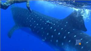 WebBuzz du 22/09/2014: Un requin baleine attaque 2 plongeurs-A Whale shark attack 2 divers