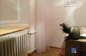 WebBuzz du 21/11/2014: Un furet rate son saut-A ferret fail its jump