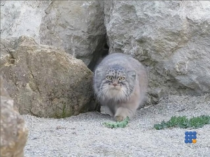 WebBuzz du 08/09/2016: Chat de pallas filmé en liberté-Pallas cat recorded