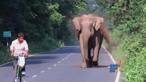 Webbuzz du 08/06/2016: Un éléphant sécurise la route pour faire traverser son groupe-An elephant securing a road crossing for her herd