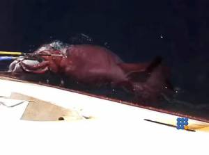 WebBuzz du  21/07/2015: Un calamar colossal filmé près d'un bateau-Colossal squid close to a boat