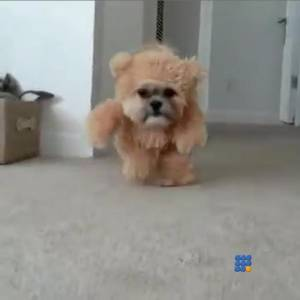 WebBuzz du 10/11/2014: déguisement d'ourson pour un shih tzu-Teddy bear costume for shih tzu