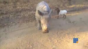 WebBuzz du 20/10/2014 : Un agneau et un bébé rhino jouent ensemble-A lamb and baby rhino plays together