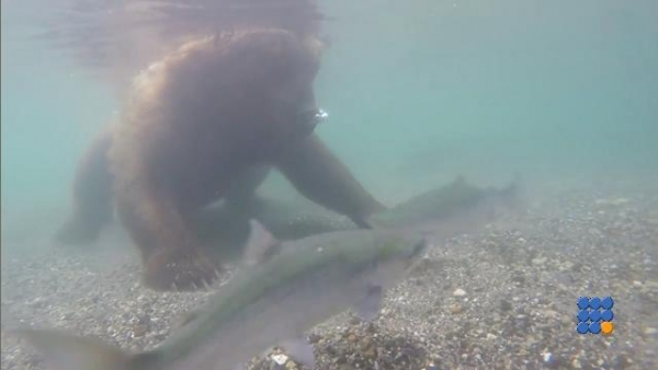 WebBuzz du 20/10/2017: Un ours en mode pêche sous marine-Bear Fishes Underwater With Paws