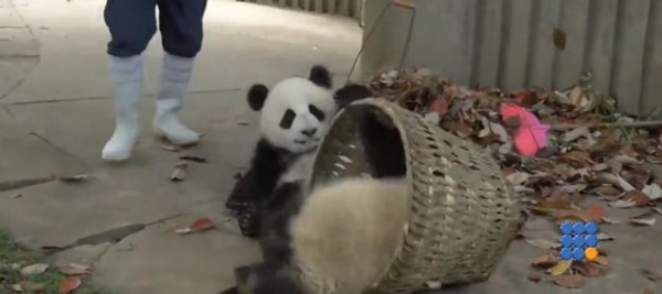 WebBuzz du 17/05/2016: Des pandas geants très taquins-Giant pandas really playfull