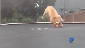 WebBuzz du 25/03/2016: Ce chien aime faire du trampoline-This dog like to play on the trampoline