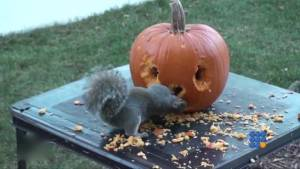 WebBuzz du 31/10/2014 : 2 ecureuils creusent une citrouille pour halloween-2 squirrels carves pumpkin for halloween