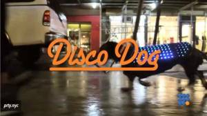 WebBuzz du 19/03/2015: Manteau disco pour chien-Disco dog goat