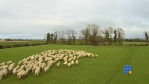 WebBuzz du 30/03/2015: fin des chiens de bergers avec l'utilisation de drone-End of erding dog with the sheep drone
