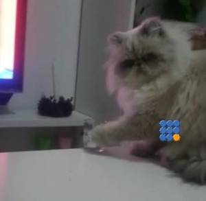 WebBuzz du 13/02/2015: Ce chat sait comment attirer l'attention-This cats wants his dinner