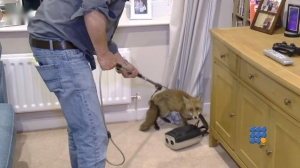 WebBuzz du 03/08/2016: Un renard coincé dans le salon-Fox cub rescued from a living room