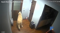 WebBuzz du 13/04/2017: Un chien s'évade de chez le véto-A Dog Escapes from Animal Hospital by himself
