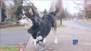 WebBuzz du 17/12/2014 : Derby Le chien handicapé avec des protèses-Derby the dog Running on 3D Printed Prosthetics