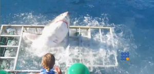 WebBuzz du 14/10/2016: Un requin blanc parvient à rentrer dans une cage d'observation-Great White Shark Cage Breach Accident