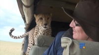 WebBuzz du 17/03/2017: Safari: un guépard s'invite dans la jeep-Wild Cheetah Jumps In Car During Safari