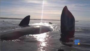 WebBuzz du 26/07/2014: Des kayakistes soulevés par une baleine-Kayakers raised by a whale