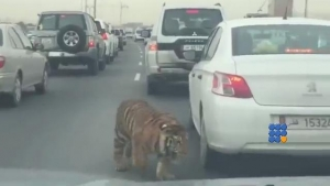 WebBuzz du 09/03/2016: Un tigre sauvage dans les bouchons au Qatar-Pet Tiger Roaming Free in the traffic jam in Doha