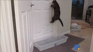 WebBuzz du 14/08/2014: Ce chat parvient à ouvrir toutes les portes-This cat can open all doors